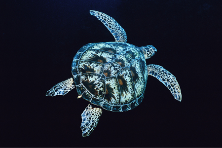 Turtle Leaving Borneo, East Malysia, 2000