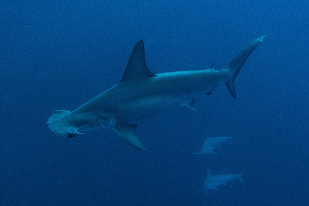 Hammerhead Sharks, Red Sea, Egypt
